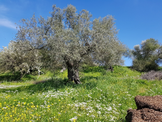 Olivenbaeume-Griechenland-mit-Oliventresterkompost-K-640
